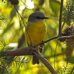 Eopsaltria australis (Eastern Yellow Robin) at ANBG - 10 Sep 2018 by RodDeb