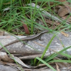 Eulamprus heatwolei (Yellow-bellied Water-skink) at Tidbinbilla Nature Reserve - 1 Dec 2012 by galah681