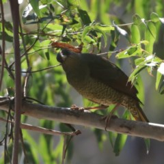 Ptilonorhynchus violaceus (Satin Bowerbird) at Palerang, NSW - 10 Sep 2018 by redsnow