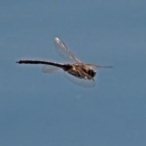 Anax papuensis at Jerrabomberra Wetlands - 11 Sep 2018