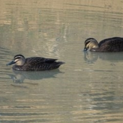 Anas superciliosa (Pacific Black Duck) at Callum Brae - 11 Sep 2018 by Mike