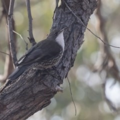 Cormobates leucophaea (White-throated Treecreeper) at ANBG - 10 Sep 2018 by Alison Milton