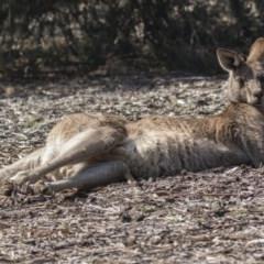 Macropus giganteus (Eastern Grey Kangaroo) at ANBG - 10 Sep 2018 by Alison Milton