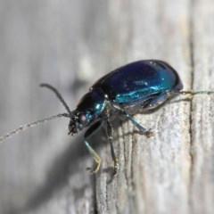 Altica sp. (genus) (Flea beetle) at ANBG - 9 Sep 2018 by Tim L