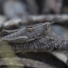 Peakesia hospita (Common Peakesia Grasshopper) at Black Mountain - 11 Sep 2018 by Alison Milton