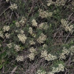 Cassinia quinquefaria (Cassinia) at Gigerline Nature Reserve - 18 Feb 2015 by michaelb