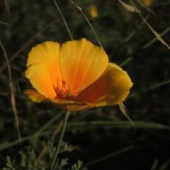 Eschscholzia californica (California Poppy) at Pine Island to Point Hut - 22 Feb 2015 by michaelb