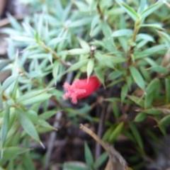 Astroloma humifusum (Cranberry heath) at Bullen Range - 10 Mar 2015 by FranM