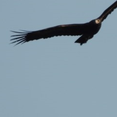 Aquila audax (Wedge-tailed Eagle) at Molonglo River Park - 11 Sep 2018 by michaelb
