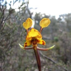Diuris semilunulata (Late leopard orchid) at Tralee, ACT - 16 Oct 2010 by Roman