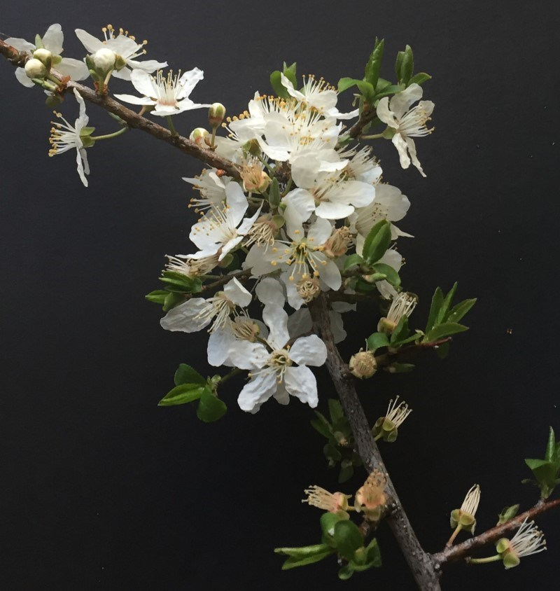 Prunus sp. at Hughes Garran Woodland - 13 Sep 2018