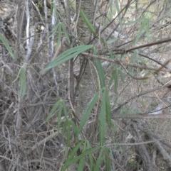Glycine clandestina (Twining glycine) at Mount Ainslie - 28 Mar 2015 by SilkeSma