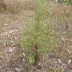 Dittrichia graveolens (Stinkwort) at Mount Mugga Mugga - 31 Mar 2015 by Mike