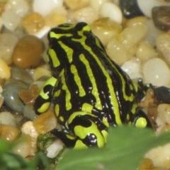 Pseudophryne pengilleyi (Northern Corroboree Frog) at ANBG - 20 Jan 2010 by GeoffRobertson