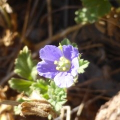 Erodium crinitum (Native Crowfoot) at Isaacs Ridge and Nearby - 7 Mar 2015 by Mike