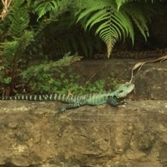 Intellagama lesueurii howittii (Gippsland Water Dragon) at Canberra Central, ACT - 31 Mar 2015 by SheridanR