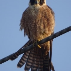 Falco longipennis (Australian Hobby) at Jerrabomberra Wetlands - 10 Sep 2018 by roymcd