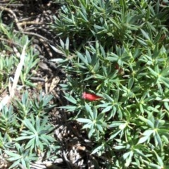 Astroloma humifusum (Cranberry heath) at Mount Ainslie - 11 Apr 2015 by SilkeSma