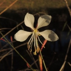 Oenothera lindheimeri (Clockweed) at Point Hut Pond - 11 Apr 2015 by michaelb