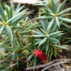Astroloma humifusum (Cranberry heath) at Isaacs Ridge and Nearby - 12 Apr 2015 by FranM