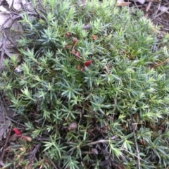 Astroloma humifusum (Cranberry heath) at Mount Ainslie - 12 Apr 2015 by SilkeSma