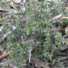 Acacia gunnii (Ploughshare Wattle) at Mount Ainslie - 13 Apr 2015 by SilkeSma