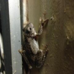 Litoria peronii (Peron's Tree-frog) at Jerrabomberra Wetlands - 26 Feb 2015 by JoshMulvaney