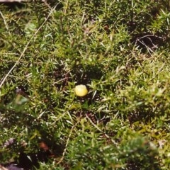 Acrotriche serrulata (Ground-berry) at Conder, ACT - 29 Jan 2000 by michaelb