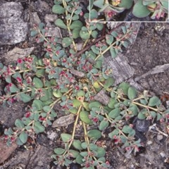 Euphorbia drummondii (Caustic Weed) at Bungonia National Park - 4 Nov 1997 by BettyDonWood