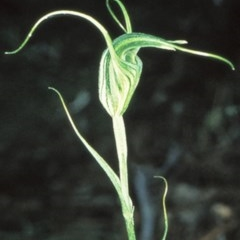 Diplodium laxum (Antelope greenhood) at Bungonia National Park - 30 Apr 1999 by BettyDonWood
