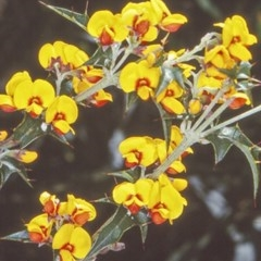 Podolobium ilicifolium (Native Holly, Prickly Shaggy Pea, Prickly Podolobium) at Budawang, NSW - 5 Nov 1997 by BettyDonWood
