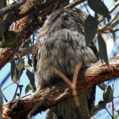 Podargus strigoides (Tawny Frogmouth) at ANBG - 13 Sep 2018 by RodDeb