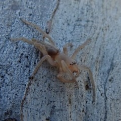 Clubiona sp. (genus) (Unidentified Stout Sac Spider) at Macarthur, ACT - 14 Sep 2018 by RodDeb