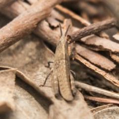 Goniaea sp. (genus) (A gumleaf grasshopper) at Bruce, ACT - 15 Sep 2018 by Alison Milton