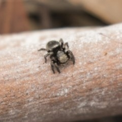 Salticidae sp. 'Golden palps' (Unidentified jumping spider) at Bruce, ACT - 15 Sep 2018 by Alison Milton