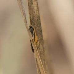 Philobota undescribed species near arabella at Gossan Hill - 15 Sep 2018