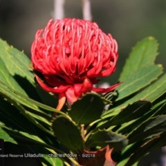 Telopea speciosissima (NSW Waratah) at South Pacific Heathland Reserve - 12 Sep 2018 by Charles Dove