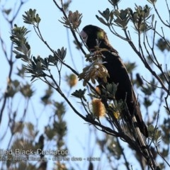 Calyptorhynchus funereus (Yellow-tailed Black-cockatoo) at South Pacific Heathland Reserve - 12 Sep 2018 by Charles Dove