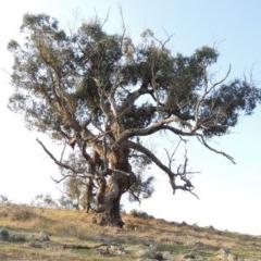 Eucalyptus bridgesiana (Apple Box) at Molonglo River Park - 11 Sep 2018 by michaelb