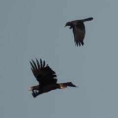 Corvus coronoides (Australian Raven) at Molonglo River Park - 11 Sep 2018 by michaelb