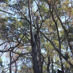Tree hollows at Mogo State Forest - 15 Sep 2018 by nickhopkins