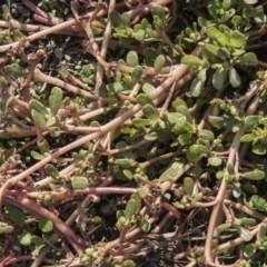 Portulaca oleracea (Pigweed, Purslane) at The Pinnacle - 13 Apr 2015 by RussellB