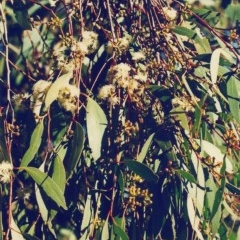 Eucalyptus dives (Broad-leaved Peppermint) at Conder, ACT - 28 Jul 2000 by michaelb
