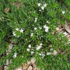Myoporum parvifolium at Sth Tablelands Ecosystem Park - 30 Apr 2015