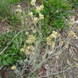 Pseudognaphalium luteoalbum at Sth Tablelands Ecosystem Park - 30 Apr 2015