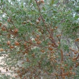 Leptospermum continentale at Sth Tablelands Ecosystem Park - 30 Apr 2015