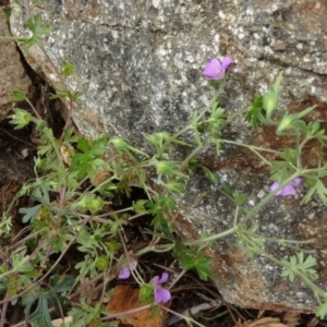 Geranium solanderi var. solanderi at Sth Tablelands Ecosystem Park - 30 Apr 2015
