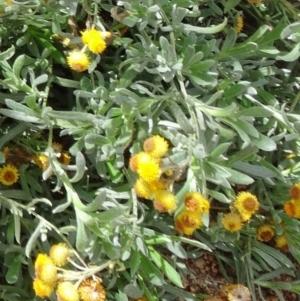 Chrysocephalum apiculatum at Sth Tablelands Ecosystem Park - 30 Apr 2015