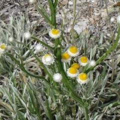 Ammobium alatum (Winged Everlasting) at Sth Tablelands Ecosystem Park - 30 Apr 2015 by galah681