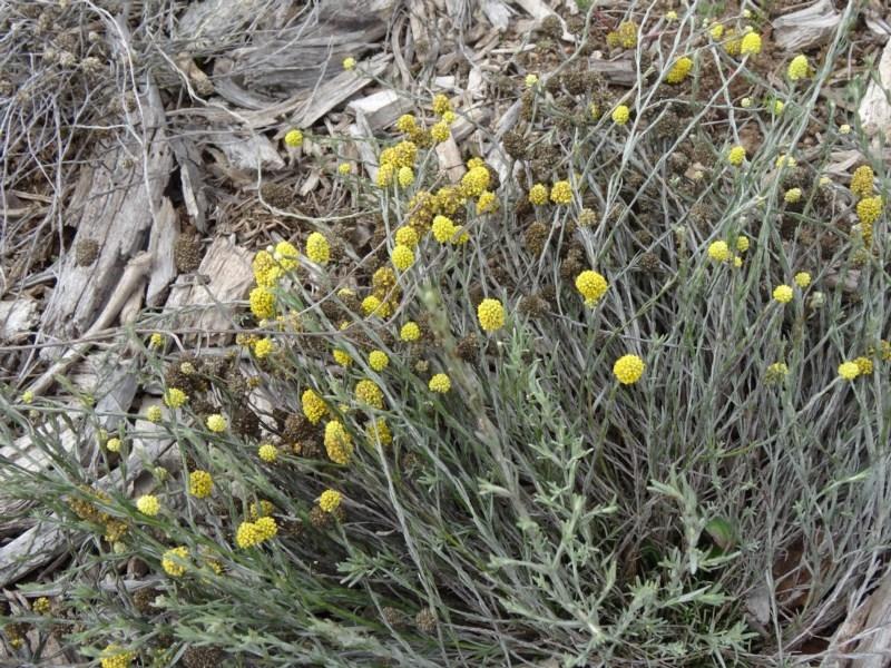 Calocephalus citreus at Sth Tablelands Ecosystem Park - 30 Apr 2015